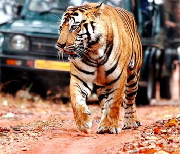 Ranthambore national park tour with local guide